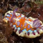 sea slug st helena
