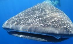 St Helena whale shark