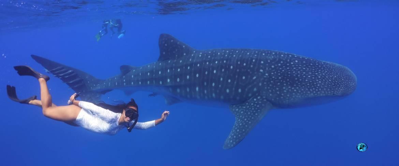 Whale_shark-St-Helena.jpg